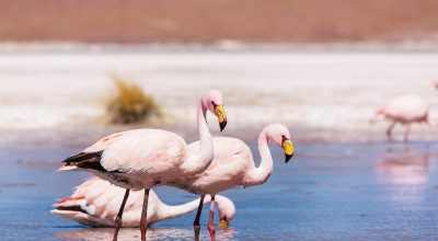 Flamingo in the lake of Bolivian Altiplano