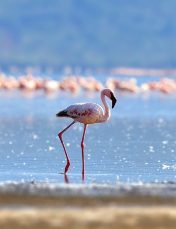 Flock of flamingos wading in the shallow lagoon water. Kenya, Africa